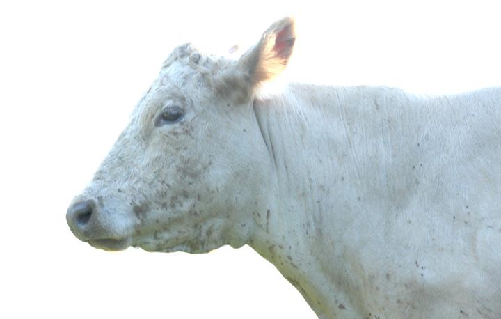 cow_arendt2