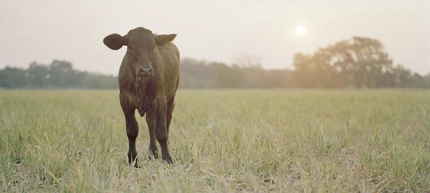 cow_arendt4